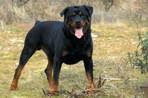 Le Rottweiler toute une histoire extraordinaire, un chien sportif
