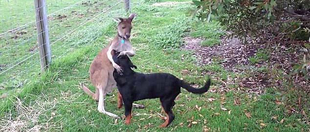 un rottweiler et un kangourou attendrissants