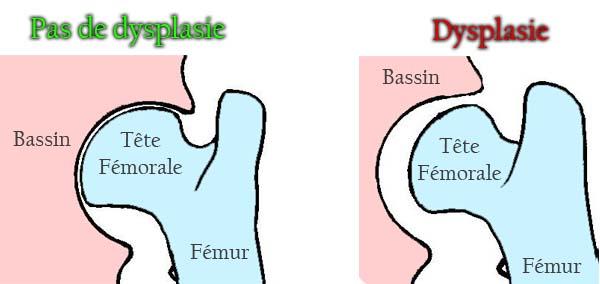 La dysplasie de la hanche chez le Rottweiler - la dysplasie coxo-fémorale