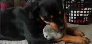 Un rottweiler qui fait la toilette à un chat - trop mignon !