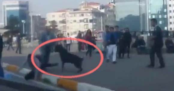 Un Rottweiler s'interpose pour stopper une bagarre dans la rue