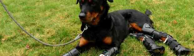 Le Rottweiler Brutus, une histoire pas comme les autres