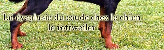 La dysplasie du coude chez le chien et chez le rottweiler
