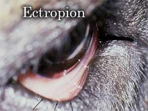 Ectropion chez le chien