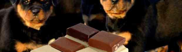 Le chocolat est-il toxique pour les chiens ?