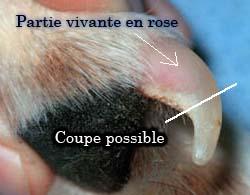 Détail de la griffe d'un chien avec sa coupe