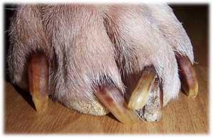 Comment couper les griffes de son chien ou de son rottweiler - Couper les ongle d un chien ...