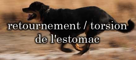 Le retournement ou La torsion de l'estomac chez le rottweiler