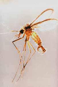 Attention aux piqûres de moustique pour votre chien ! Un phlébotome