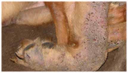 Problèmes de peau sur un chien avec une maladie auto-immune