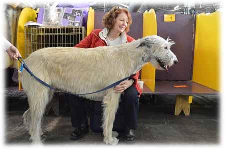 Lévrier Irlandais, la plus grande race de chien ?