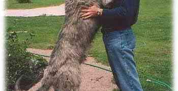 Quelle est la plus grande race de chien ?