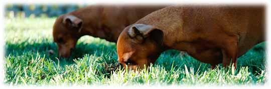 Pourquoi mon chien mange de l'herbe et vomit ?