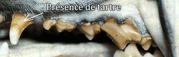 Le tartre est la principale cause de la mauvaise haleine chez le chien
