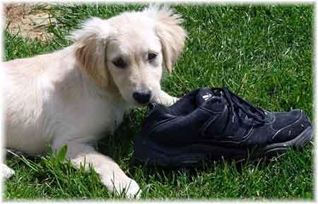 chien mange vos vêtements et vos chaussures, la solution et les conseils