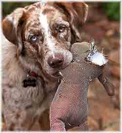 un chien de chasse avec un jouet pour chien un nounours