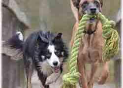 Le Rottweiler et les jouets pour chien - Le grand choix