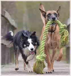 un malinois et un border collie avec un jouet pour chien une corde