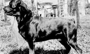 Histoire de ce grand chien le Rottweiler