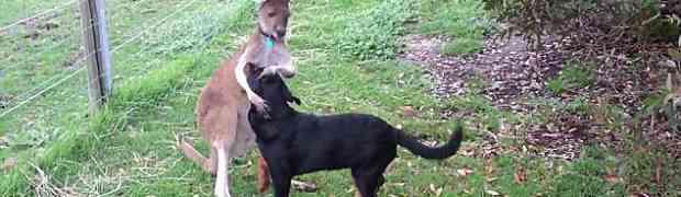 un rottweiler et un kangourou attendrissants tous les deux