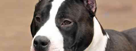Pour l'interdiction des chiens de 1ère et 2ème catégories sur la ville de Lattes (34)