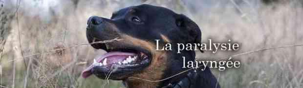 La paralysie du larynx chez le chien et chez le rottweiler