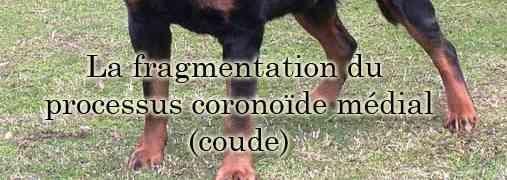 La fragmentation du processus coronoïde médial (anomalie au niveau du coude) chez le rottweiler