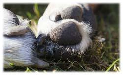 Comment couper les griffes de son chien ou de son Rottweiler ? (vidéos)