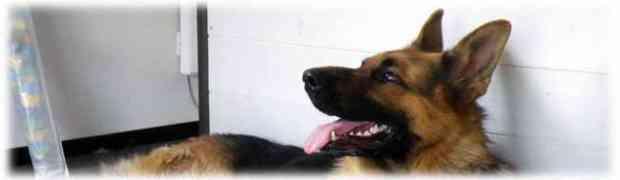 Tout sur le Berger Allemand - Race de chien