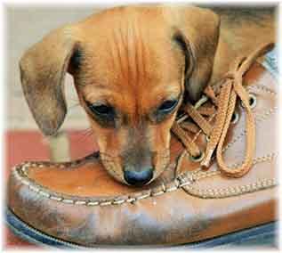 Un signe du manque d'activité également, le chien qui mange des chaussures